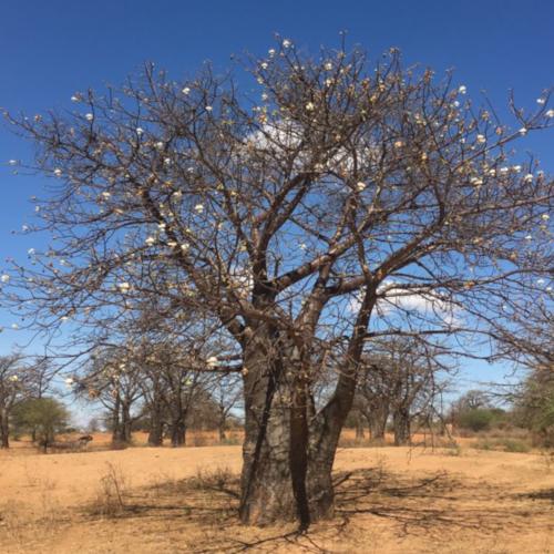 baobab Wald