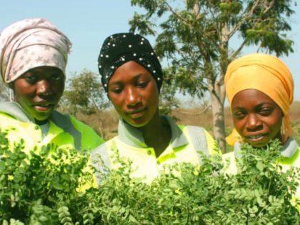 Berufsbildung & Moringaproduktion in Gambia läuft erfolgreich an!