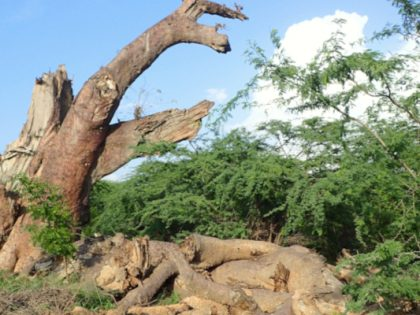 Baobab Trees dying