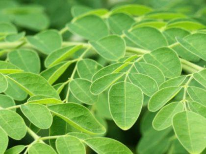 Sierra Leone: Erfolgreicher Start von Bio-Moringaproduktion für den lokalen Markt